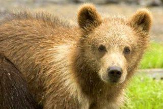 """Tenía encerrado en casa a un cachorro de oso en peligro de extinción porque """"creía que era un perro"""""""