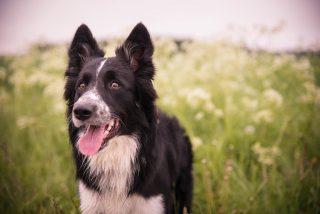 Mascotas: La 10 razas de perros más inteligentes y los 10 más bobos