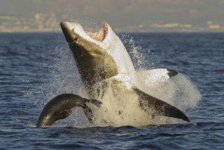 El enorme tiburón acosa a los pescadores para robarles el cebo