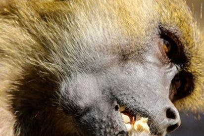 Este babuino atrapa a dos patitos en un zoológico y se los merienda ante los aterrados niños