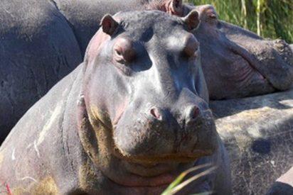 Este 'equipo' de hipopótamos invade un campo de rugby en Sudáfrica y se hace viral en la Red