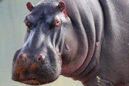 Cinco leones atacan ferozmente a un hipopótamo herido y pasa esto…