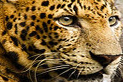Leopardo mata a un niño de dos años en un parque natural tras entrar en la zona reservada a empleados