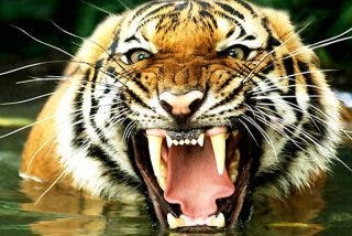 ¡Por curioso! Pierde los brazos mientras alimentaban a un tigre