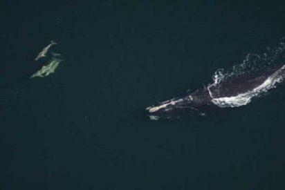 Seis ballenas al borde de la extinción encontradas muertas cerca de la costa de Canadá