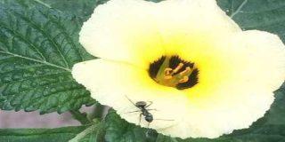 Estas hormigas defienden a las plantas de las plagas y consiguen recopensas a cambio