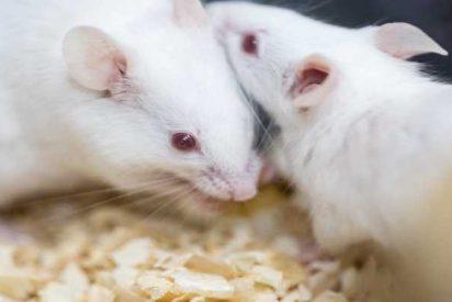 Consiguen cambiar la proporción de hembras y machos en ratones con una herramienta CRISPR-Cas9
