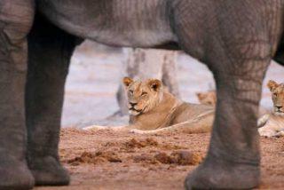 Graban como esta cría de elefante resiste al feroz ataque de una leona