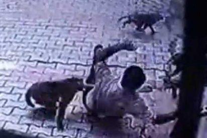 Este grupo de monos con muy mala leche, tiran al suelo a un indefenso ciudadano indio