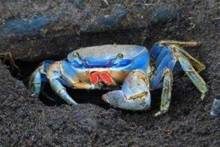Estos simpáticos cangrejos de arena cambian su madriguera por la casa de un ciudadano en Florida