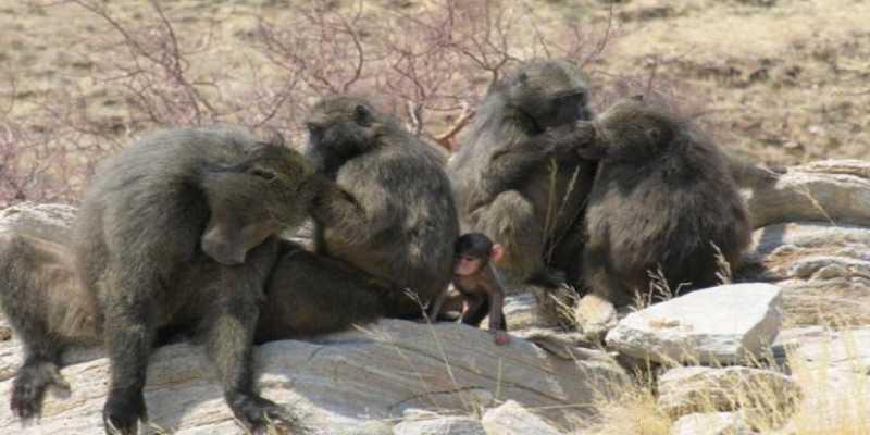 ¿Por qué las hembras de mamíferos matan a las crías de otros?
