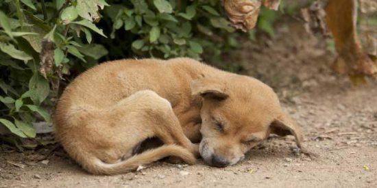 Esta perrita se quedó ciega, recibió 17 tiros, fue abandonada y estaba embarazada, ahora es perra de terapia