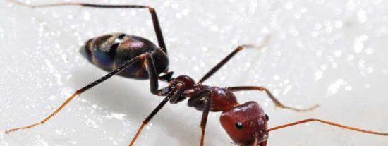 Las lluvias del desierto provocan la reducción de especies de hormigas