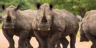 Unos drones protegerán a los rinocerontes de los cazadores