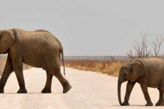 Un hombre pasea elefantes por una zona residencial de Siberia