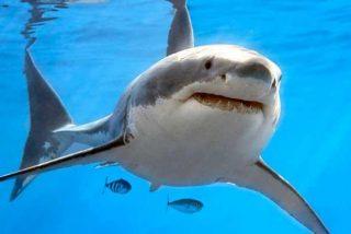 Este tiburón blanco arrastra a una embarcación varios metros