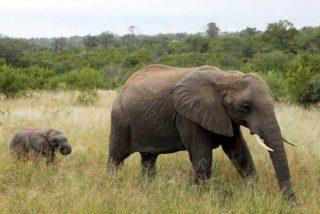 A este elefante le cortan despiadadamente la trompa y los colmillos para obtener beneficios