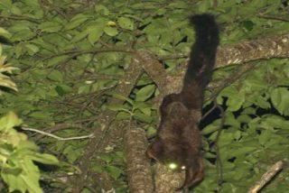 Esta nueva especie encontrada de ardilla voladora ya está en peligro de extinción