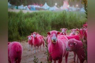 Pintan de fucsia a estas ovejas para promocionar un festival y dejan morados a los promotores