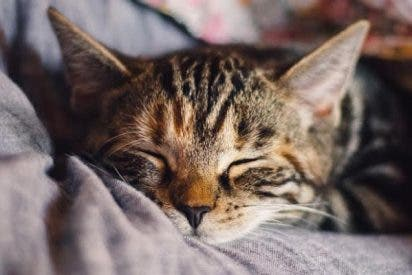 Este gato provoca apnea del sueño a su dueño