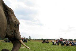 Este elefante 'cabroncete' no hace caso a la sirena y persigue a todos los presentes y varios acaban heridos