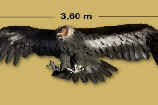 Paleontólogos descubren los restos de este gigantesco cóndor prehistórico