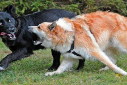 Los perros más agresivos son aquellos que están justo en el medio de la jerarquía en la jauría