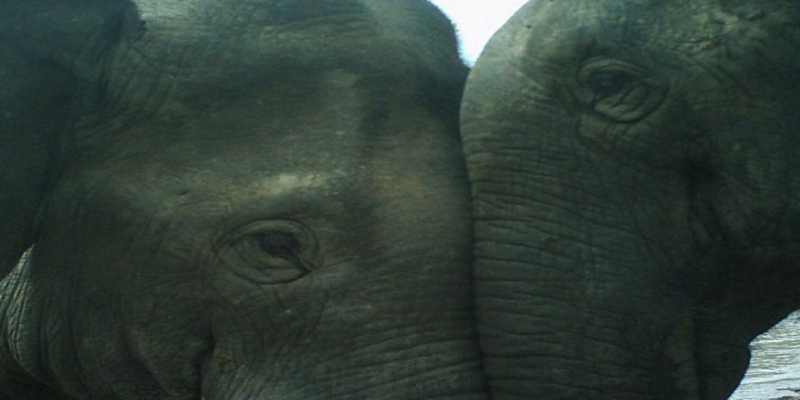 Los elefantes recurren al patriarcado para enfrentarse a los humanos