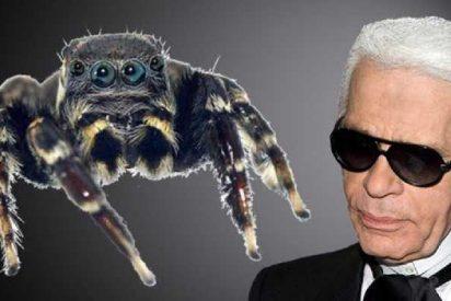 Esta es la nueva araña saltarina nombrada en honor al diseñador Karl Lagerfeld