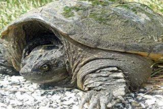 La intrigante razón por la que algunas tortugas pueden sobrevivir meses sin oxígeno