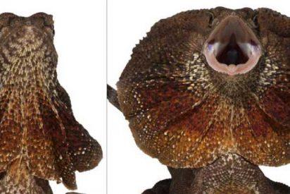 Así es el collar desplegable del clamidosaurio
