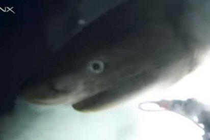 Logran captar imágenes únicas y marcar por primera vez en aguas profundas una especie de tiburón que quedó casi intacta desde el Jurásico