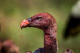 Buitre: 7 razones para respetar a este ave carroñera con una injusta reputación