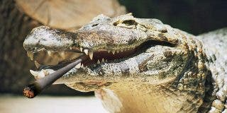 Los americanos muy preocupados por los caimanes 'yonkis' por culpa de las drogas que se tiran por los retretes