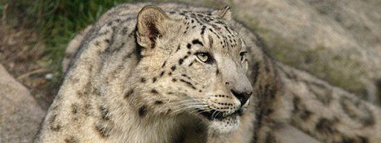 Graban a una familia de leopardos de las nieves, uno de los depredadores más esquivos del mundo