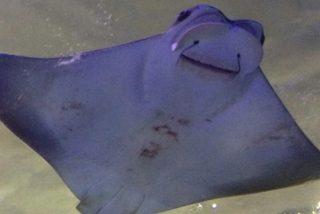 Esta mantarraya gigante se acerca a un buzo para pedir que le salve la vida