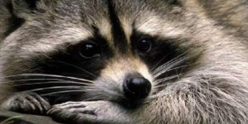 ¿Sabías que casi una veintena de especies invasoras amenazan la biodiversidad en Madrid?