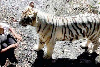 El tigre juega con el aterrado joven 10 minutos y lo mata
