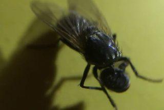 La mosca 'zombi' que juega con su propia cabeza decapitada