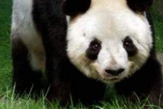 El panda del zoo de Edimburgo, Yang Guang, se electrocuta al intentar escalar la verja de su nuevo hábitat