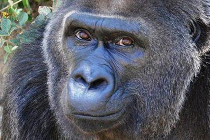Muere el gorila más antigua en cautiverio, 'Trudy'