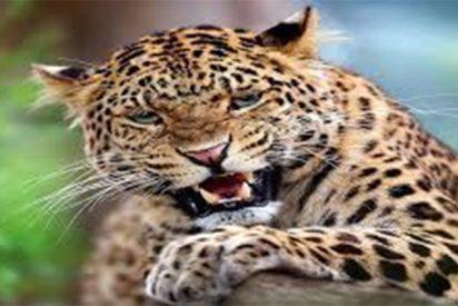'Sanfermín' con leopardo en la India