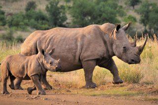 Los drones que protegen a los rinocerontes de los cazadores