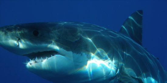 Este tiburón blanco acecha a un grupo de confiados niños para comérselos