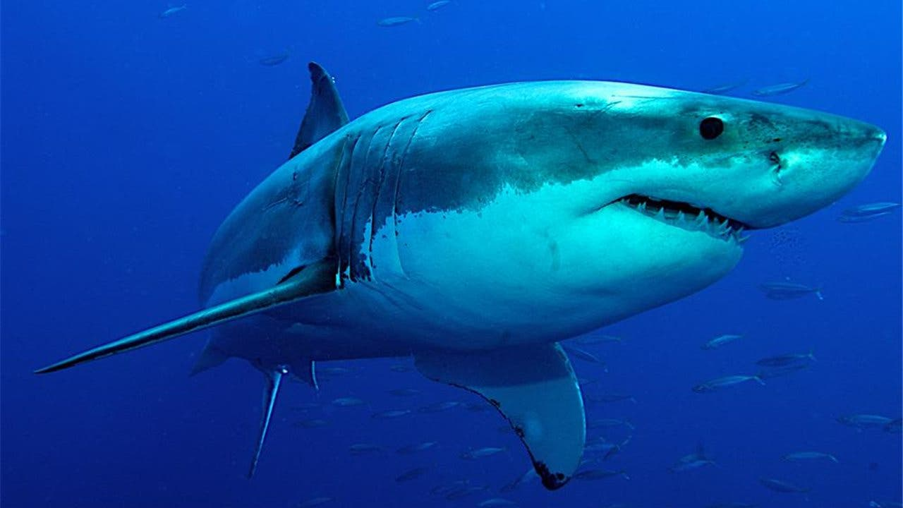 El 'abuelo' del tiburón blanco y del megalodón era más bien pequeño