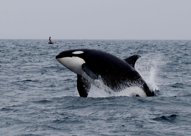 El negocio de avistar ballenas es mucho más grande que el de cazarlas... incluso en Japón