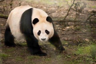 El panda del zoo de Edimburgo, Yang Guang, se electrocuta al intentar escalar la verja