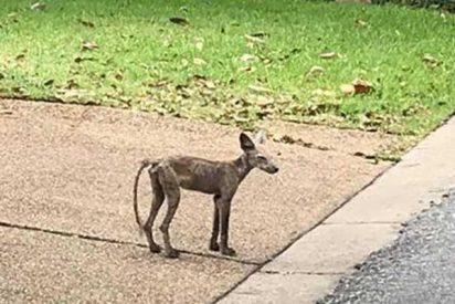 Identifican a un extraño animal en EE.UU y lo salvan de la enfermedad que cambió su apariencia