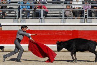 Un toro completamente agotado cae desplomado durante una esperpéntica corrida de práctica