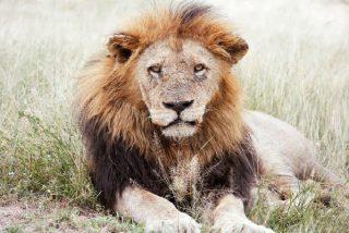 Cazadores matan a quemarropa a un indefenso león y se regodean por su cobarde hazaña